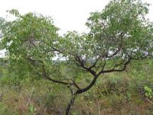 Vegetação do Cerrado em Sapé