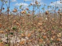 cultivo do algodao colorido