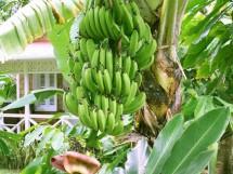Banana Borborema