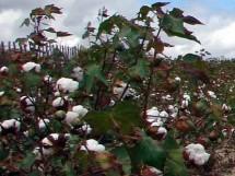 FestaColheita algodão Remígio 04