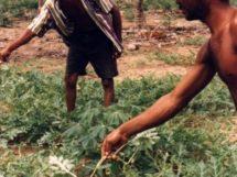 Assentamento Dona Antônia_plantação de Melancia