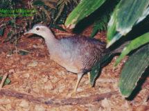pássaro Zabelê